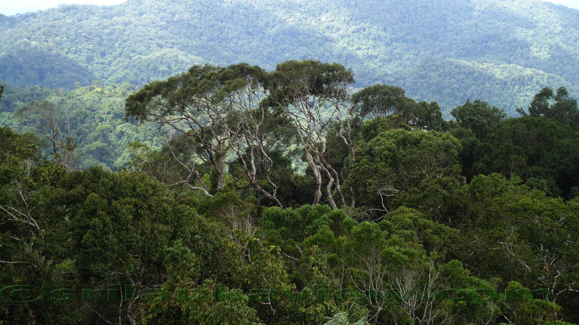 Sinharaja Rainforest 2