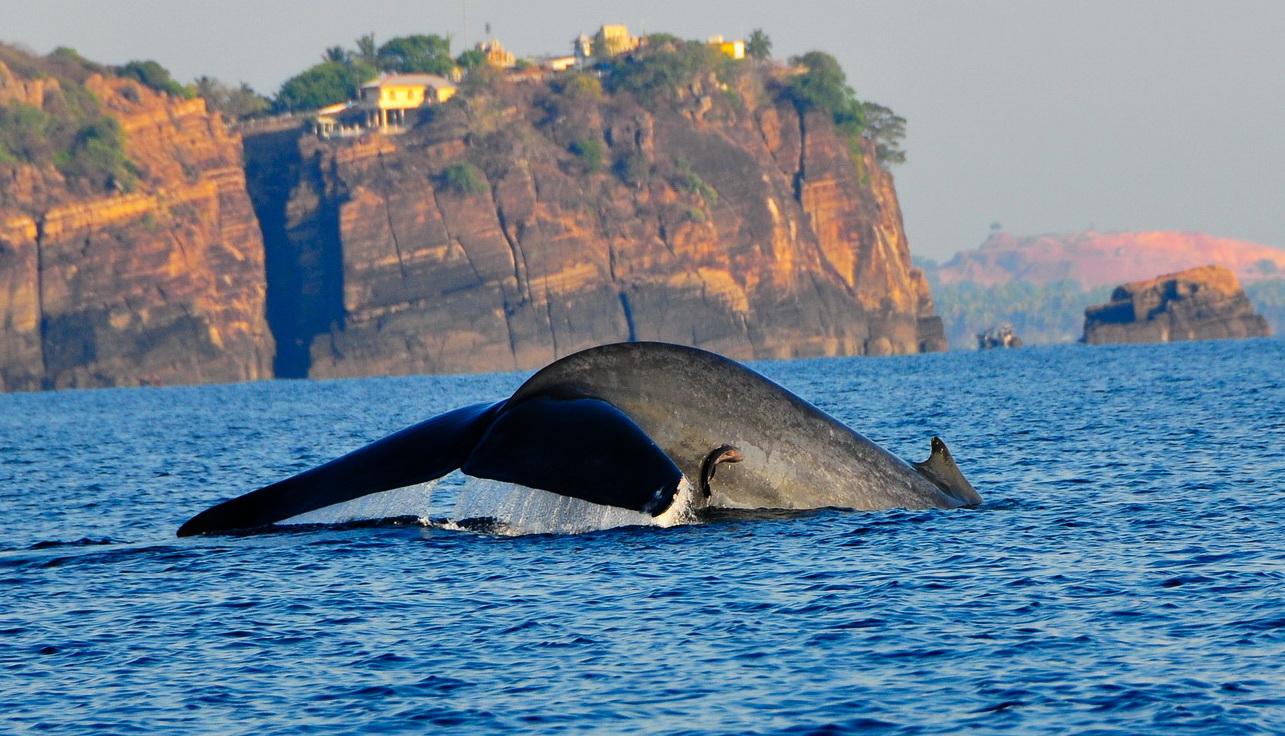 Trincomalee whale