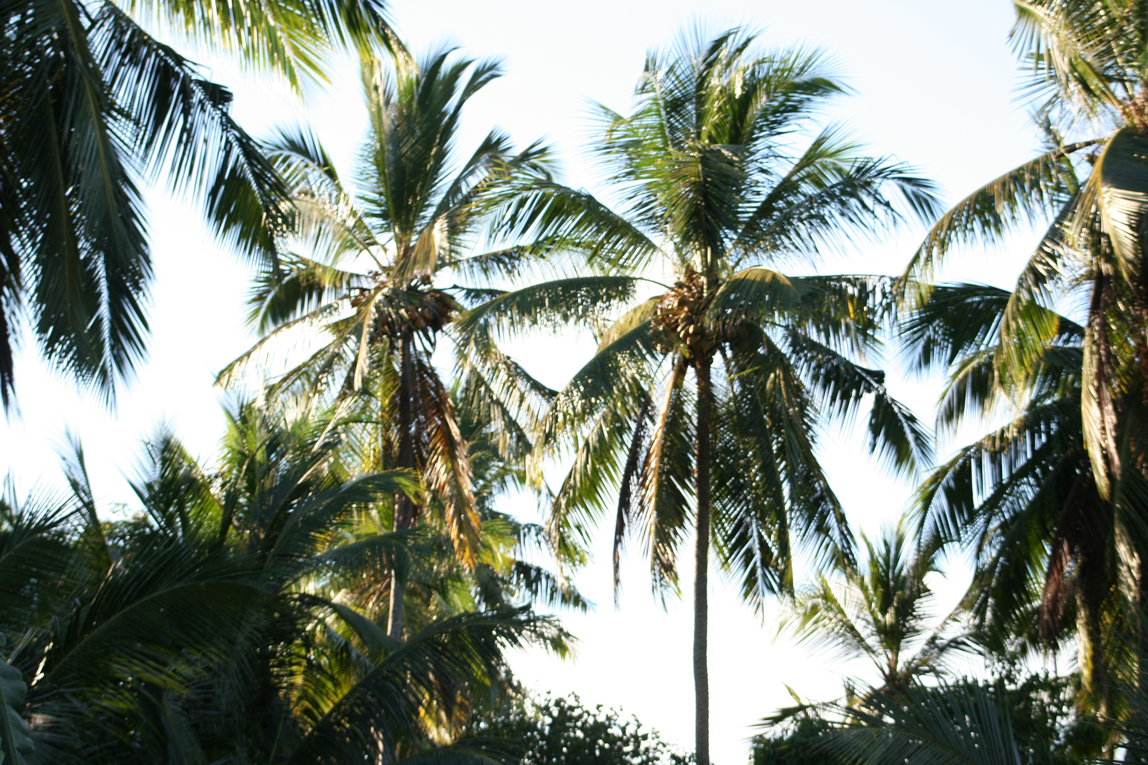 COCOSTE Palms