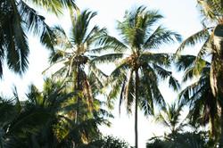 COCOSTE Palms