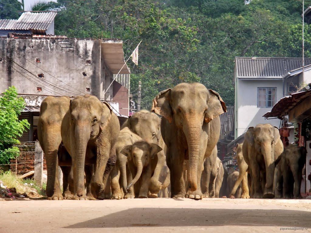 Pinnawala Elefanten 3