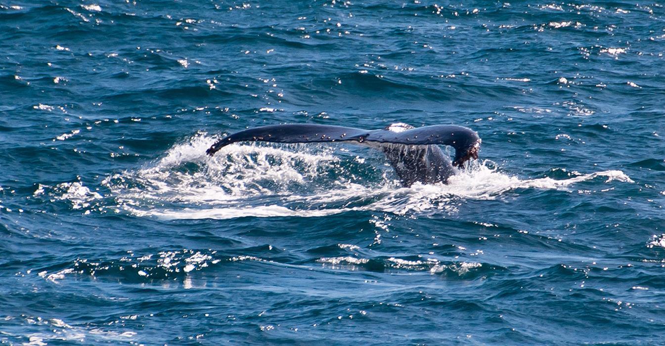 Mirissa whale 5