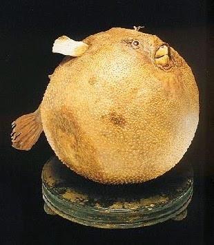 Pesce palla, Settala museo, Milan