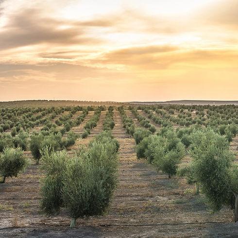 Israel-Olive-Tree-Farm-at-sunset-Benny-H