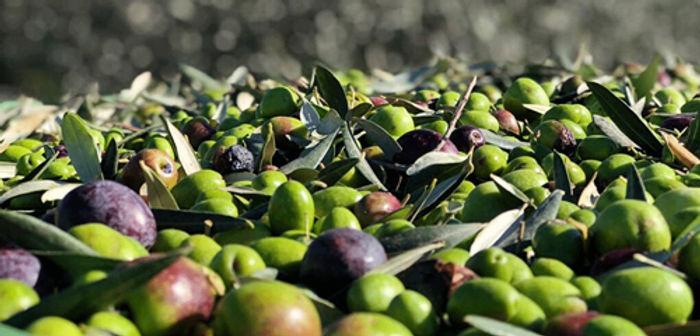 zeytin-hasadı-turu-bafa-gölü-alternatif-