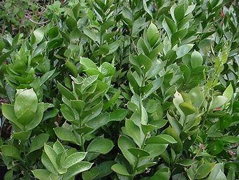 foliage greens
