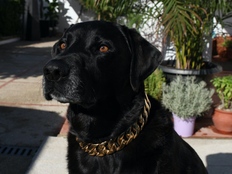 Take a Look at me in my LUX DOG CHAIN