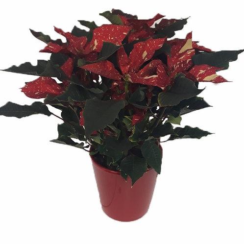 Poinsettia Jazpeada