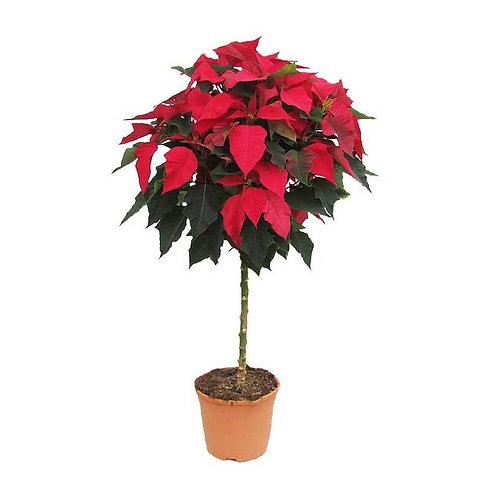 Arbol Poinsettia Roja