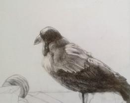 Crow, Pencil