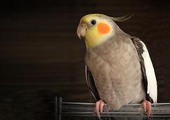 Domestic Parrot