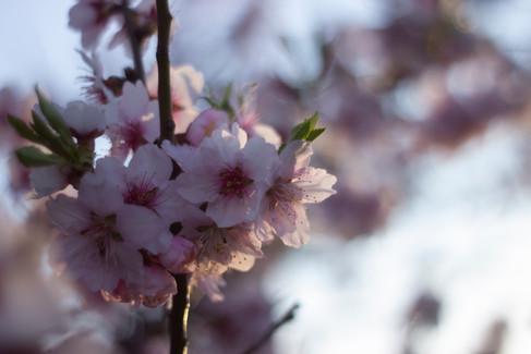 Mandelblüten in der Pfalz