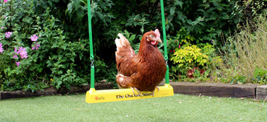 The Famous Chicken Swing!