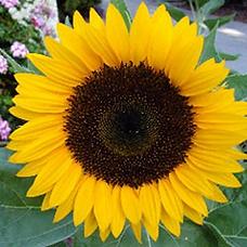 sunflower dafna f1.webp