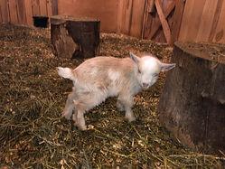 boy goat 2 fall 2020.jpg