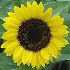 sunflower sunrich lemon f1.jpg