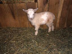boy goat fall 2020.jpg