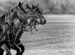 Polo Ponies