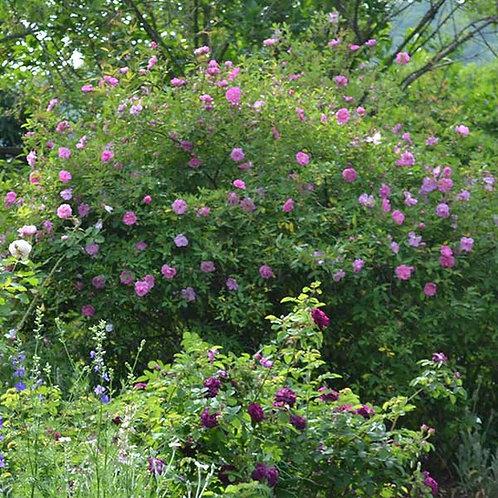 Swamp Rose, Rosa palustris
