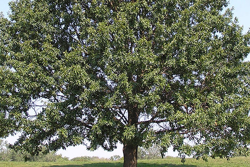 Shingle Oak, Quercus imbricaria