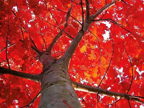 Red Oak, quercus rubra