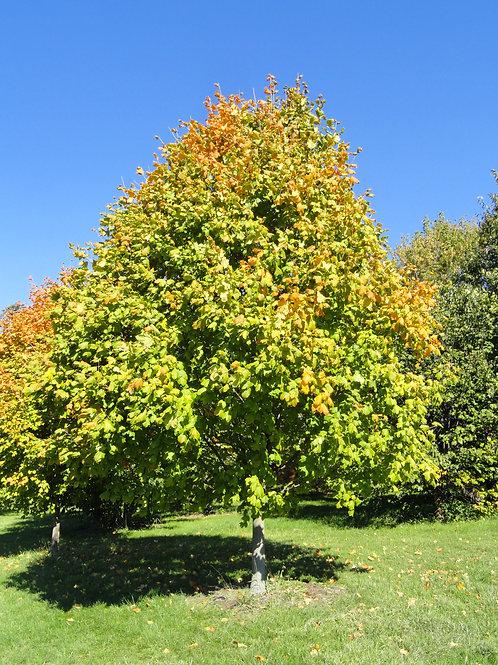 Black Maple, Acer nigrum