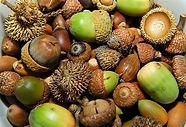 mixed acorns.jpg
