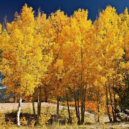 Quaking Aspen, Populus tremuloides
