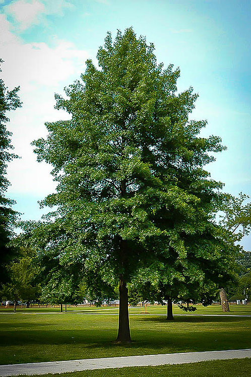Pin Oak, Quercus palustris