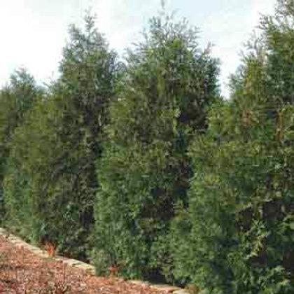 Eastern White Cedar, Thuja occidentalis