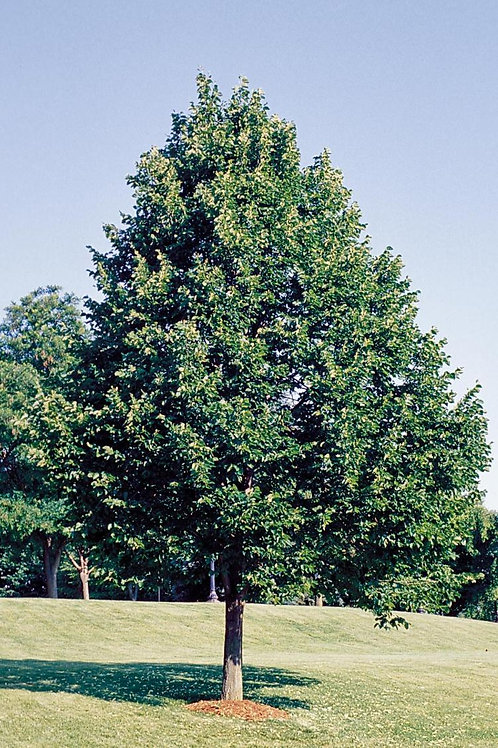 American Basswood(Am. Linden), Tilia americana
