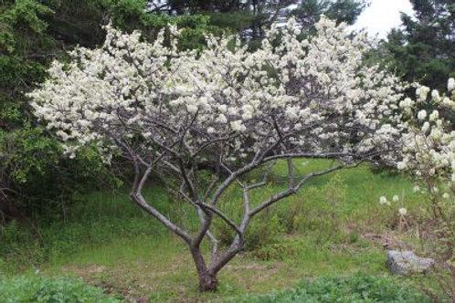 Beach Plum, Prunus maritima