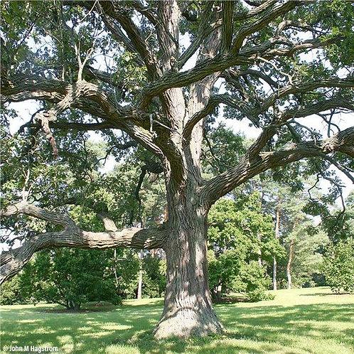 Bur Oak, Quercus macrocarpa