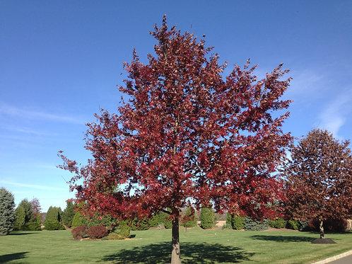 Scarlet Oak, Quercus coccinea