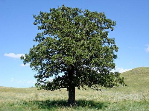 Black Oak, Quercus velutina