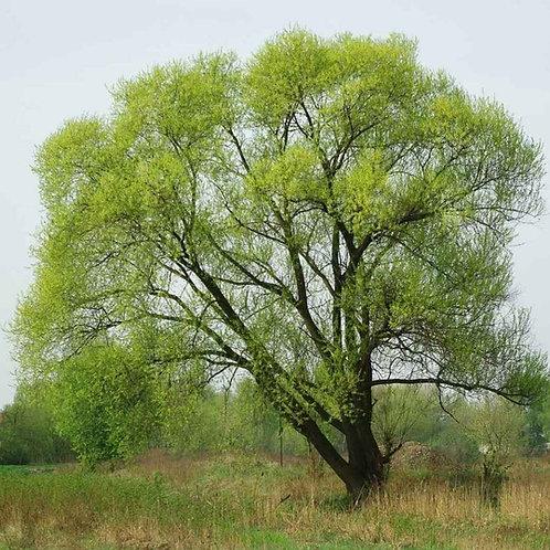 Black Willow, Salix nigra