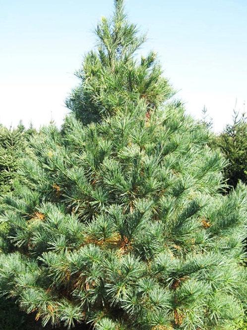 White pine, pinus strobus