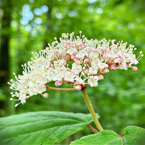 Mapleleaf Viburnum, Viburnum Averifolium