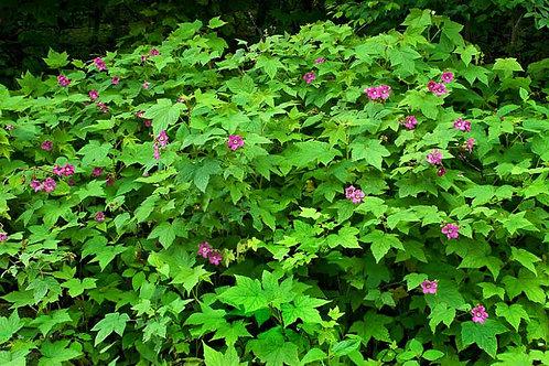 Native Flowering Raspberry, Rubus odoratus