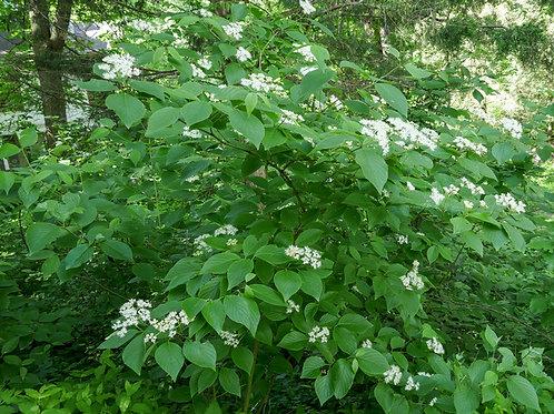 Roundleaf Dogwood, Cornus rugosa