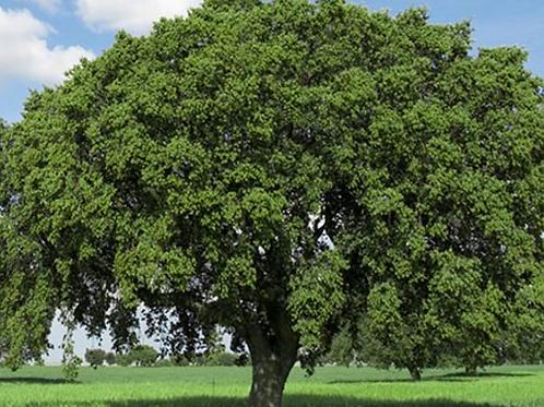 Overcup Oak, Quercus lyrata
