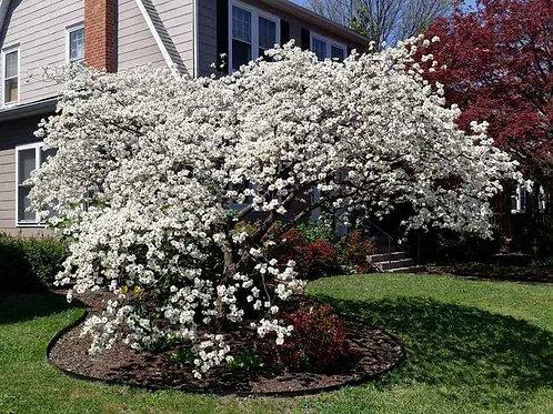 Silky Dogwood, Cornus amomum
