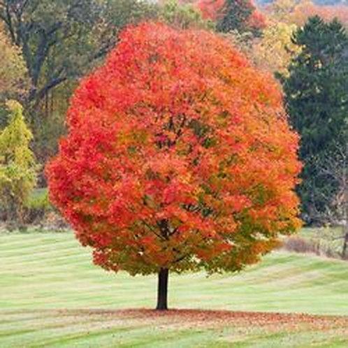 Sugar Maple, Acer saccharum