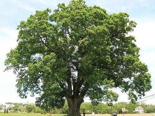 Swamp White Oak, Quercus bicolor