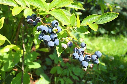 Highbush Blueberry, Vaccinium corymbosum