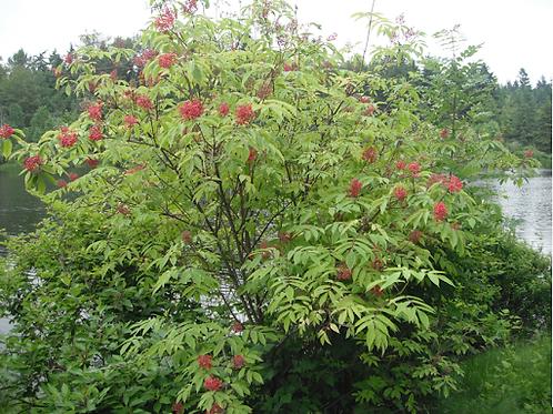 Red Elderberry, Sambucus racemosa