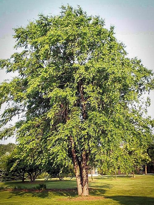 River Birch, Betula nigra
