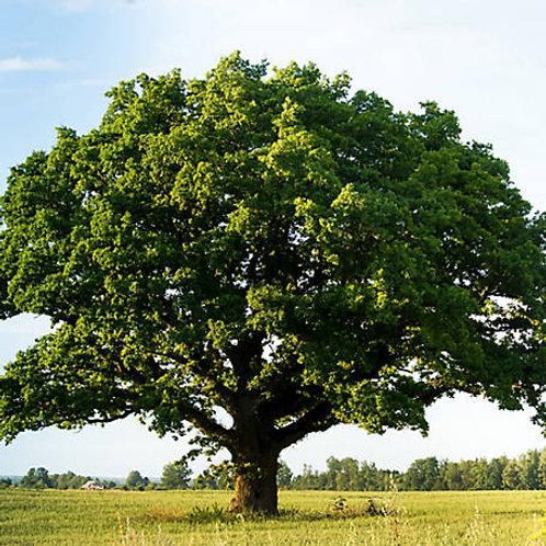 Swamp Chestnut Oak, Quercus michauxii