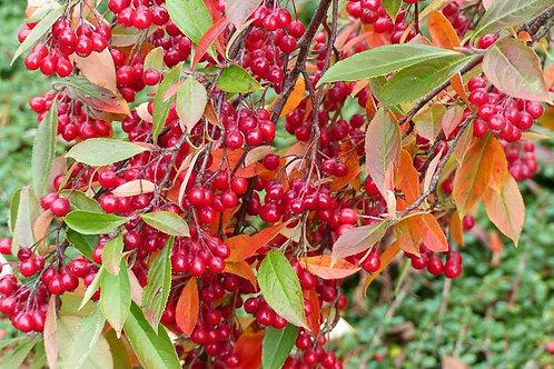 Red Chokeberry, Aronia arbutifolia