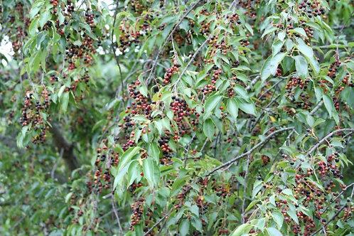 Wild black cherry, prunus serotina